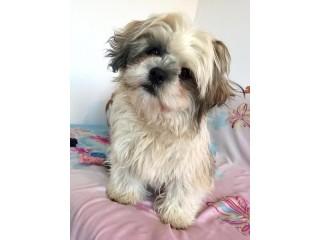 Buy   Healthy  Trained  Shih Tzu  Puppies