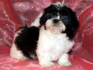 Shih tzu male and female pups