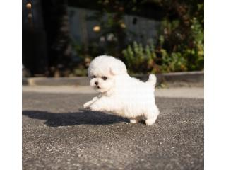 Humble Bichon frise puppies
